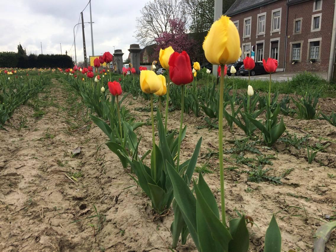 fleurs à couper tulipes 1