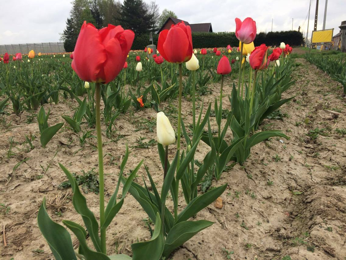 fleurs à couper tulipes 2