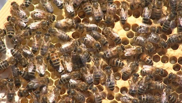 La ruche devenue trop étroite, les abeilles essaiment