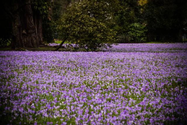Magnifique tapis de crocus au jardin botanique de Liège (photos)