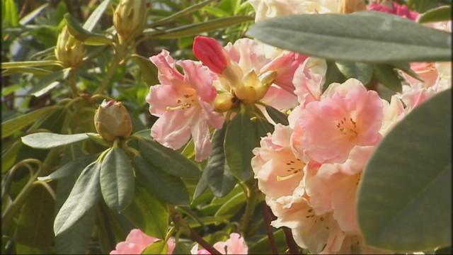 Production de rhododendrons, azalées et kalmias