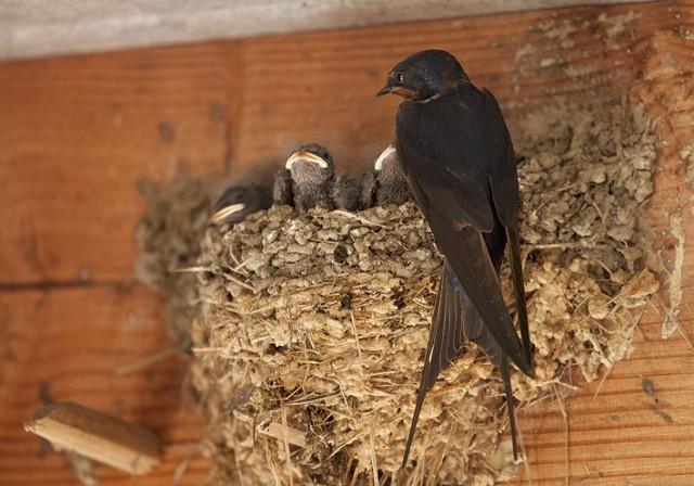 Hirondelles : le château de Harzé achète des nids artificiels