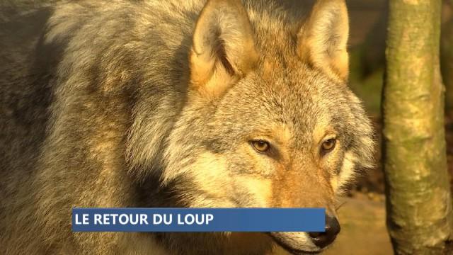 Le loup est en Belgique, bientôt en Wallonie