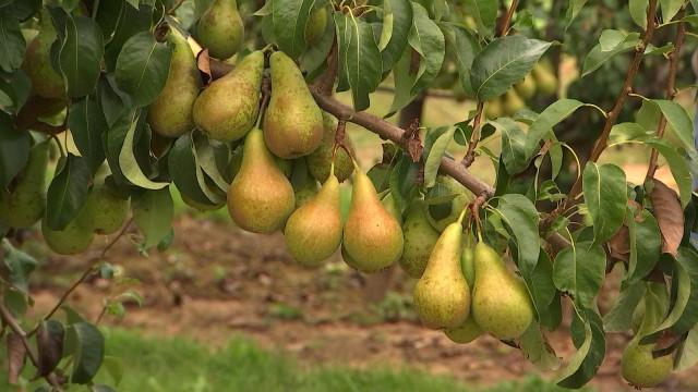 La récolte des poires, précoce pour cause de sècheresse