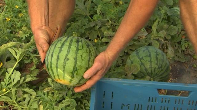 Hody : Laurent cultive des pastèques wallonnes