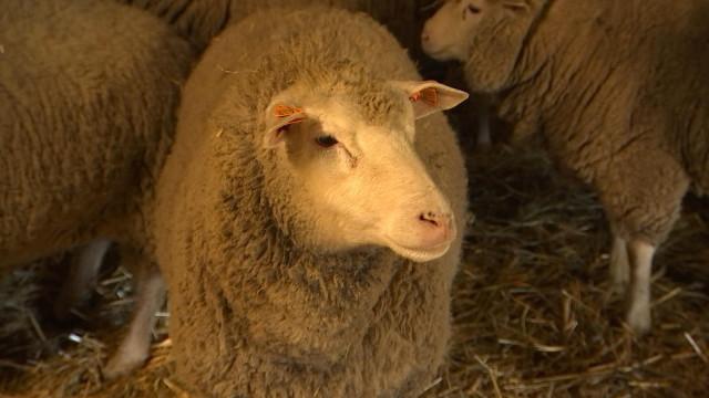 Moutons cherchent famille d'accueil
