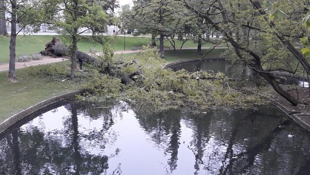 Un arbre déraciné au parc de la Boverie
