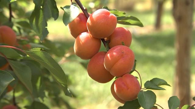 Ferme de Freloux: première récolte d'abricots belges!