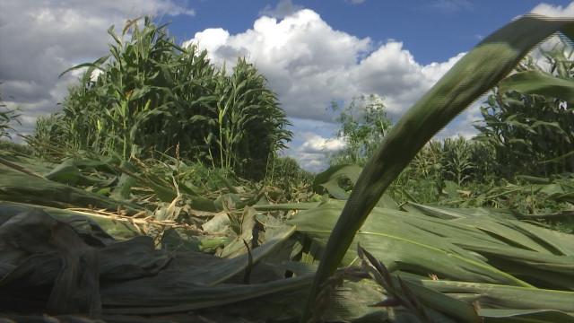 Qui a ravagé ce champ de maïs à Engis ?