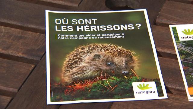 Les hérissons en déclin en Wallonie?