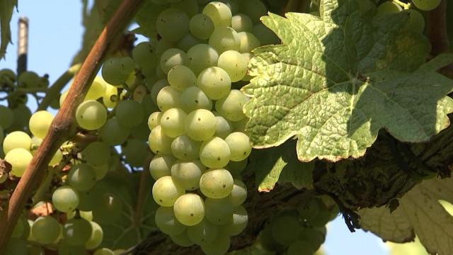 Vin de Liège : la météo des prochaines semaines déterminera la qualité du vin