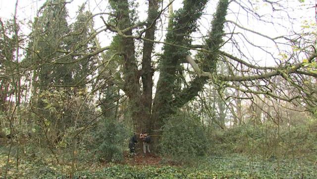 A Chênée se cache le plus gros arbre de Liège !