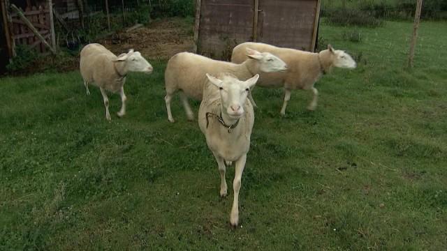 Braives : la bergerie des Nuages lance son fromage