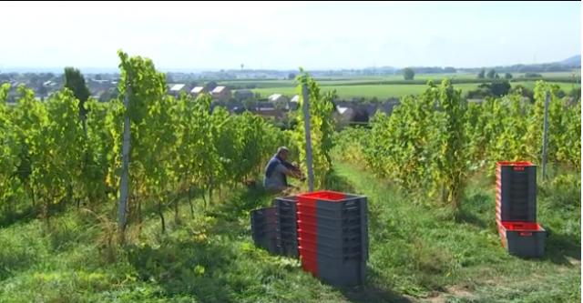 Début des vendanges pour Vin de Liège