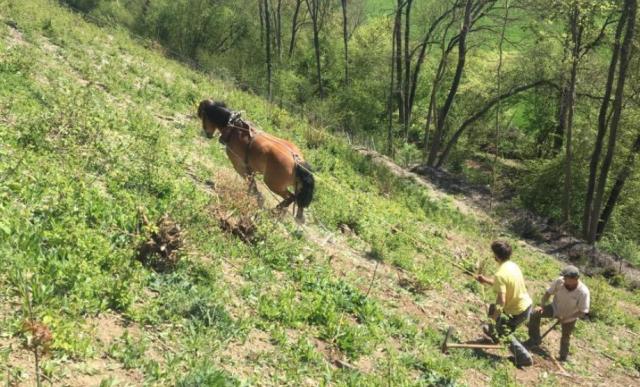 Des chevaux de trait pour déssoucher la Montagne Saint Pierre