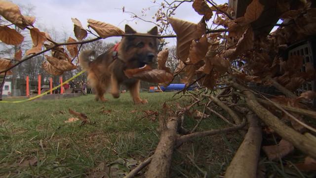 Des chiens détecteurs...de hérissons !