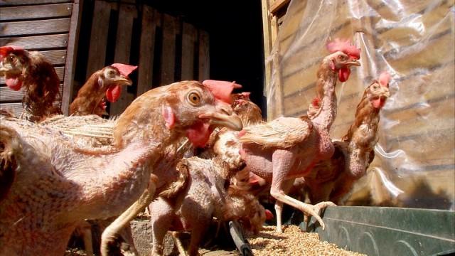 Des poules d'élevages sauvées par des bénévoles à Hannut