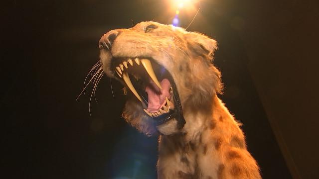 Des tigres à dents de sabre à Flémalle !