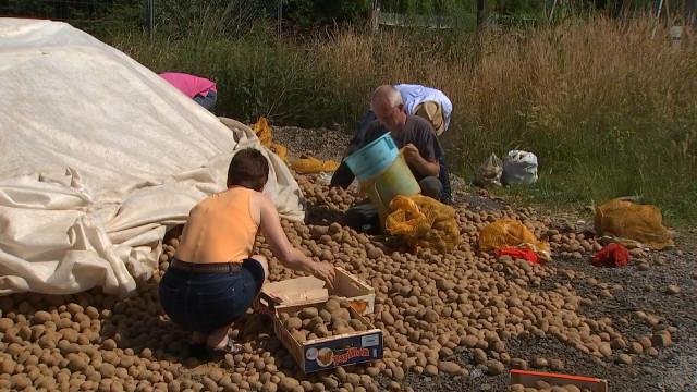 Distribution gratuite de pommes de terre !