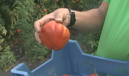 Fouron-Saint-Martin fête la tomate ce dimanche