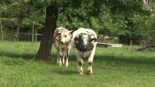 Hamoir : une habitante dépose une plainte contre des vaches