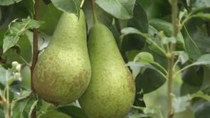 Embargo : les fruiticulteurs inquiets