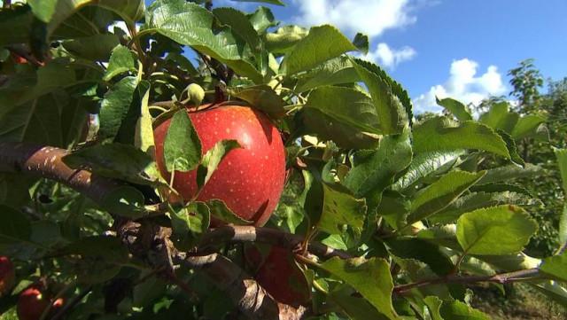 Cueillez vos pommes à Dalhem ce week-end