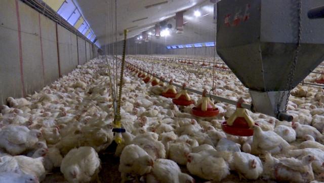 La ferme du Vivier veut accueillir 50.000 poulets supplémentaires