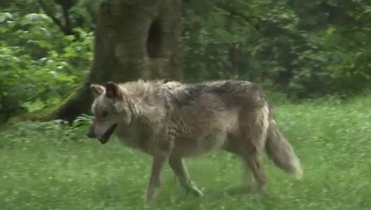 Le loup peut-être de retour chez nous ?