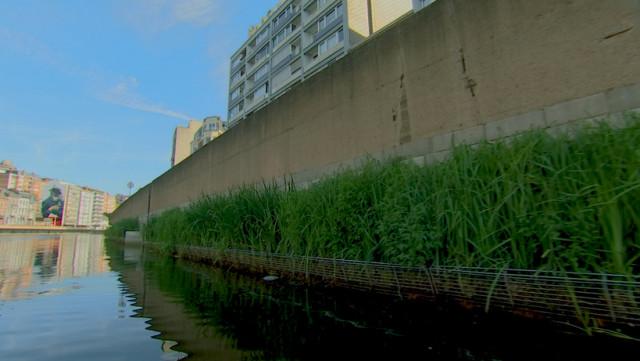 Les fascines végétales se développent bien sur la Meuse