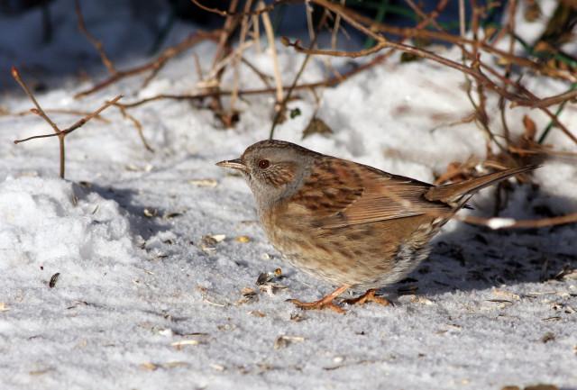 Les oiseaux moins nombreux au jardin cet hiver