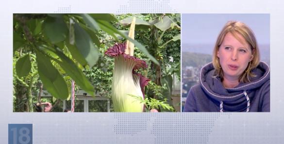 Notre invitée du JT nous parle de la plus grande « fleur-cadavre » du Monde à Liège !
