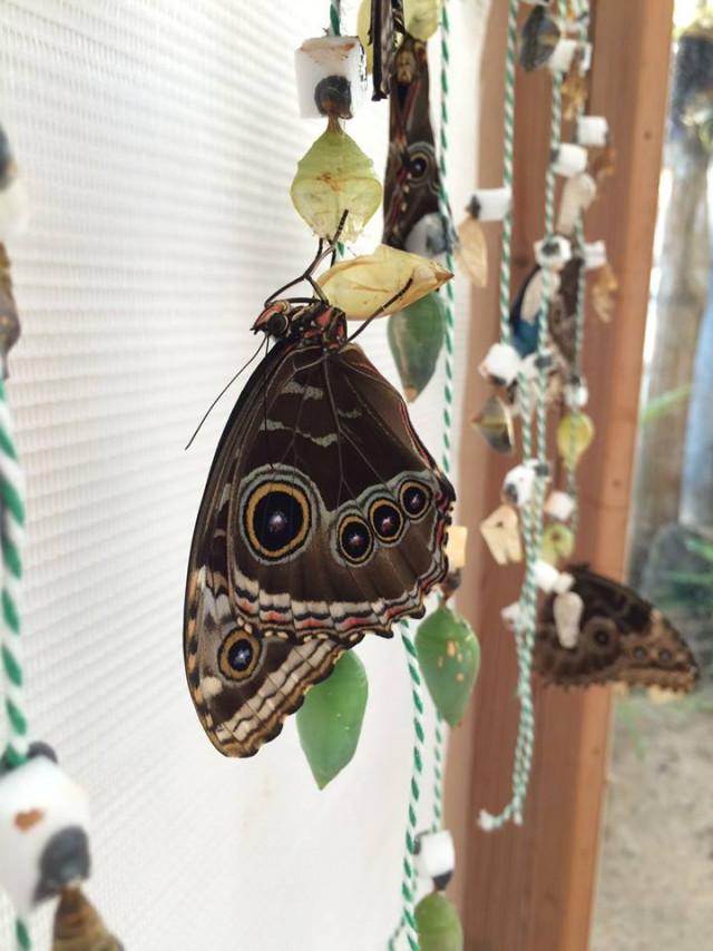 Papillons en liberté à l'Observatoire du monde des plantes