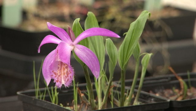 Phytesia, berceau mondial des orchidées vivaces