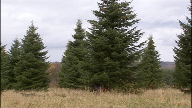 Pleine activité pour les producteurs de sapins de Noël