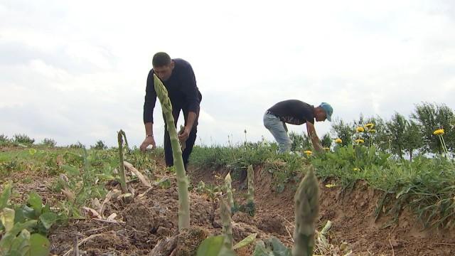 Pleine saison pour les asperges de Hesbaye