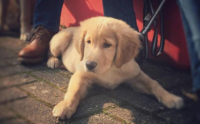 Qui pour accueillir des chiots futurs chiens-guides ?
