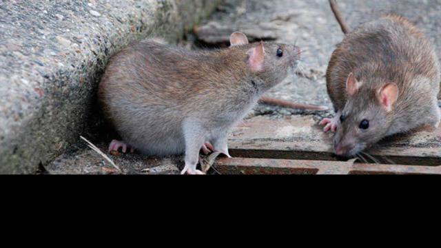 Rats Place des Carmes : « Ce n'est pas une invasion »
