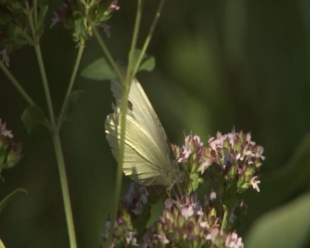 Recensement Natagora : qui papillonne dans nos jardins ?
