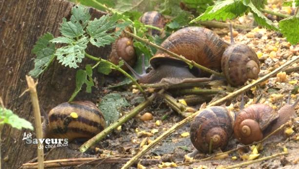 Saveurs de chez nous : Les escargots de Geer