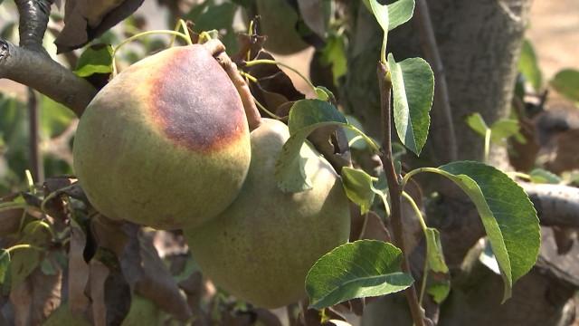 La sécheresse se paie la poire des producteurs