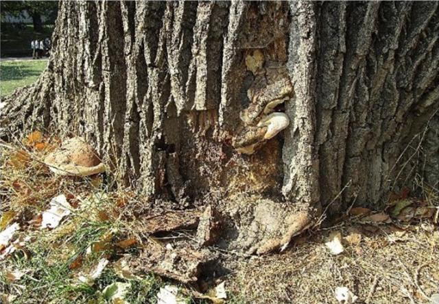 Parc de la Boverie : un arbre fortement détérioré sera enlevé d'ici mercredi