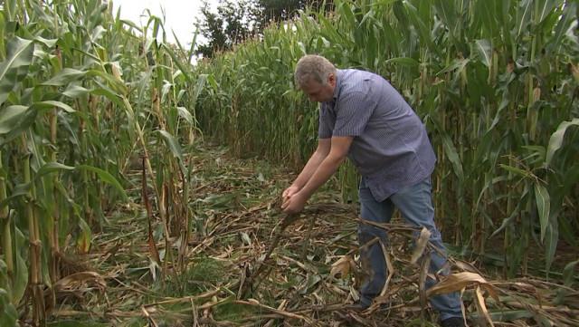 Sprimont: les sangliers ont ravagé des cultures de maïs