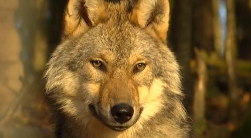 Le loup est bien de retour dans les Fagnes