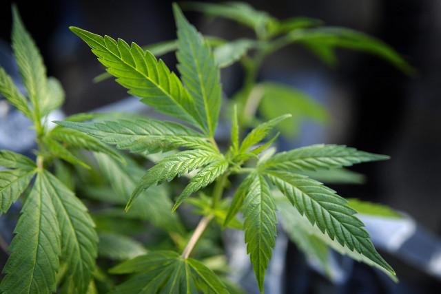 Une centaine de pacsons de marijuana retrouvés chez un dealer à Huy