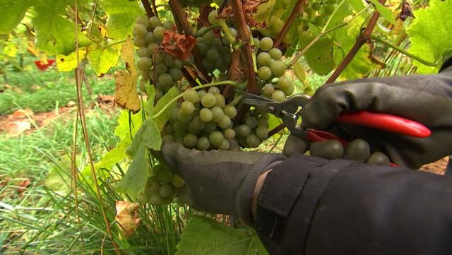 Vendanges pour Vin de Liège